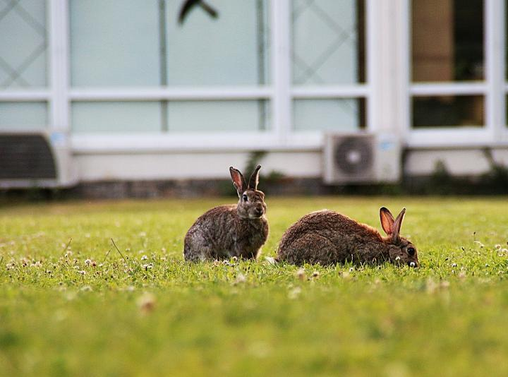 Are rabbits considered pests?